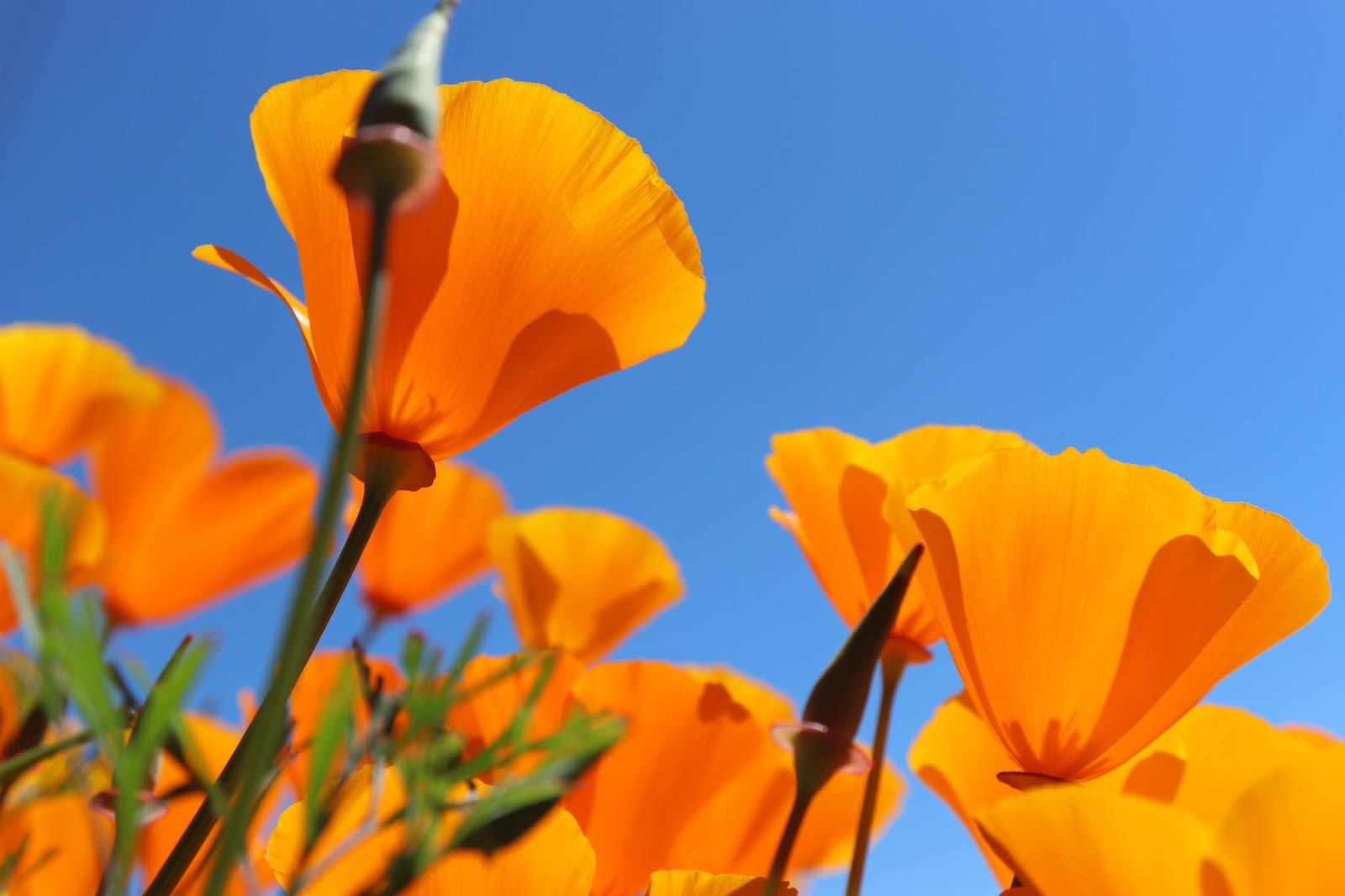 poppies from beneath